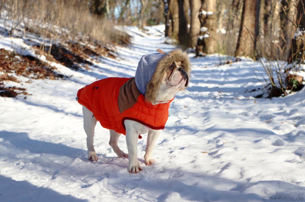 Französische Bulldogge im Winter