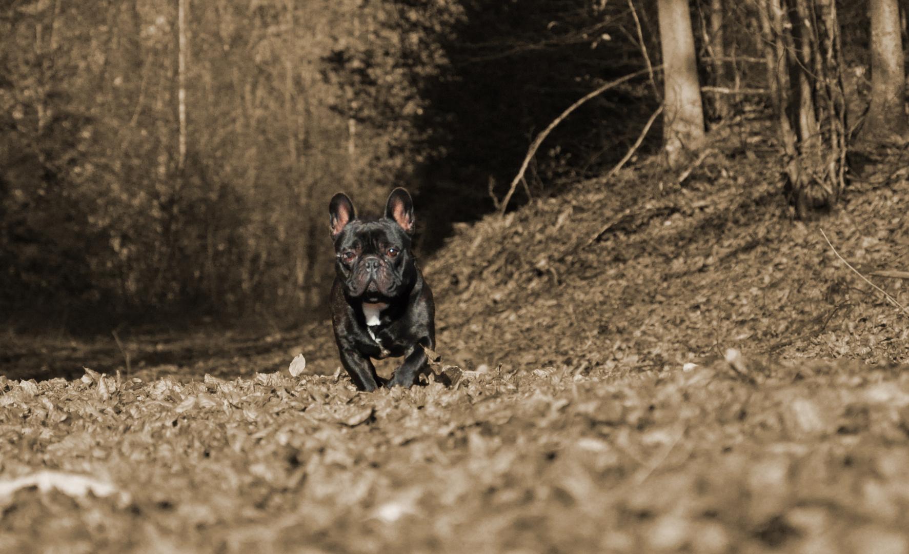 Französische Bulldogge (Sir Monti)