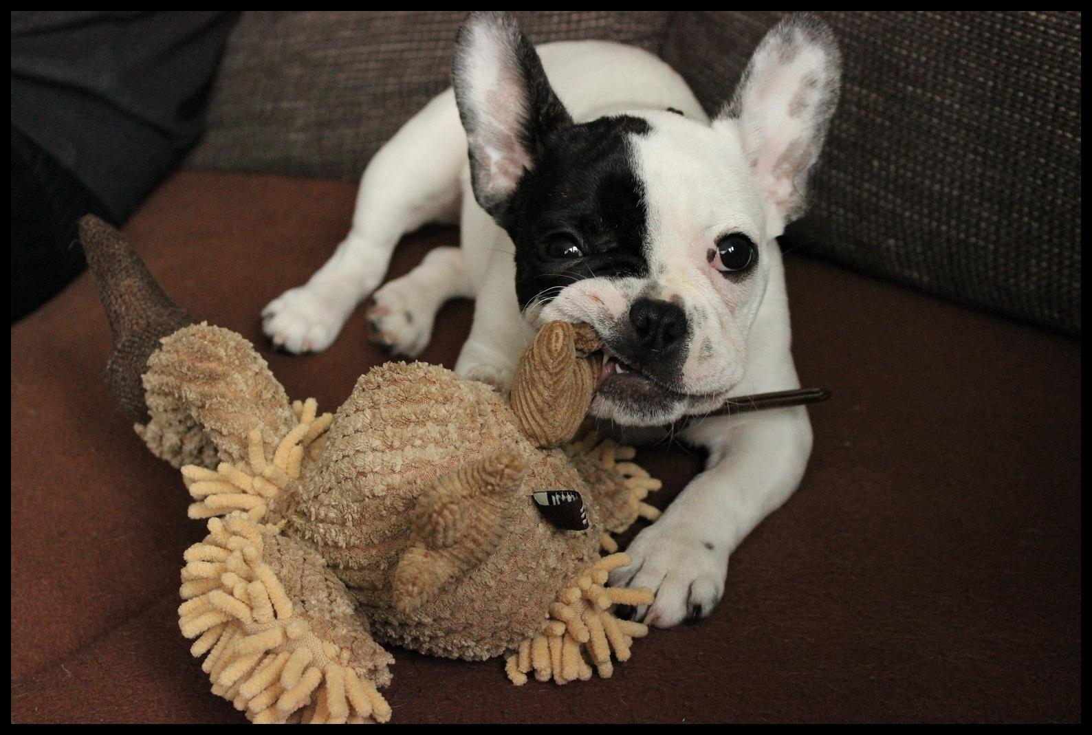 Französische Bulldogge Taja