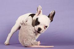 Französische Bulldogge vs. Ikea Ratte