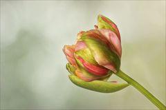 Französische Tulpe - etwas extravagant...