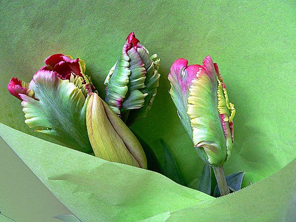 Französische Tulpen Foto & Bild
