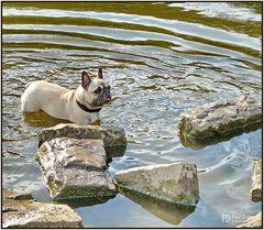 Französischen Bulldogge, Amy III
