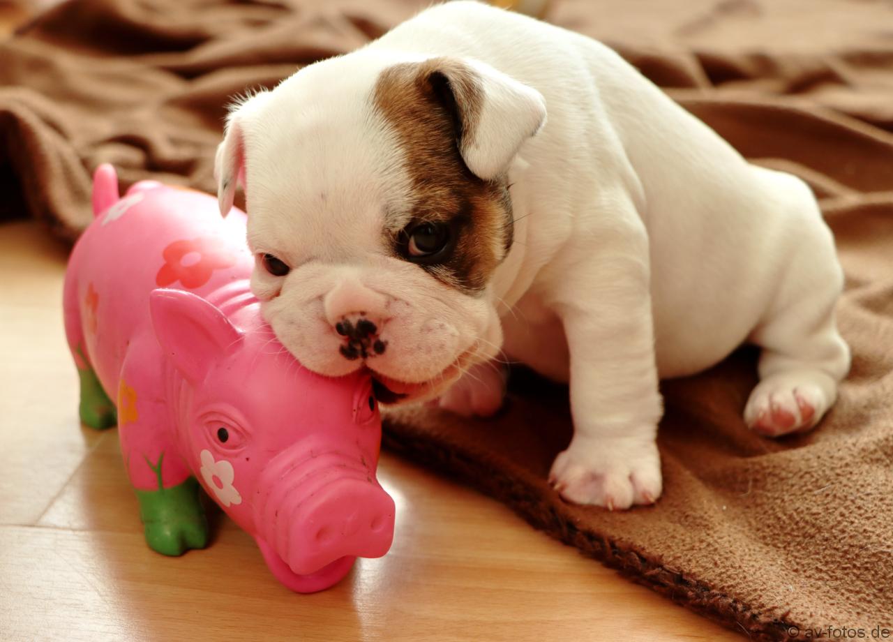 Französischer Bulldoggen Welpe