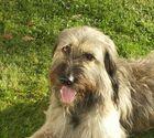 Französischer Hirtenhund