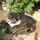 Fratelli di... Miao