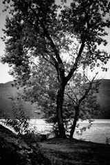 Fratello albero