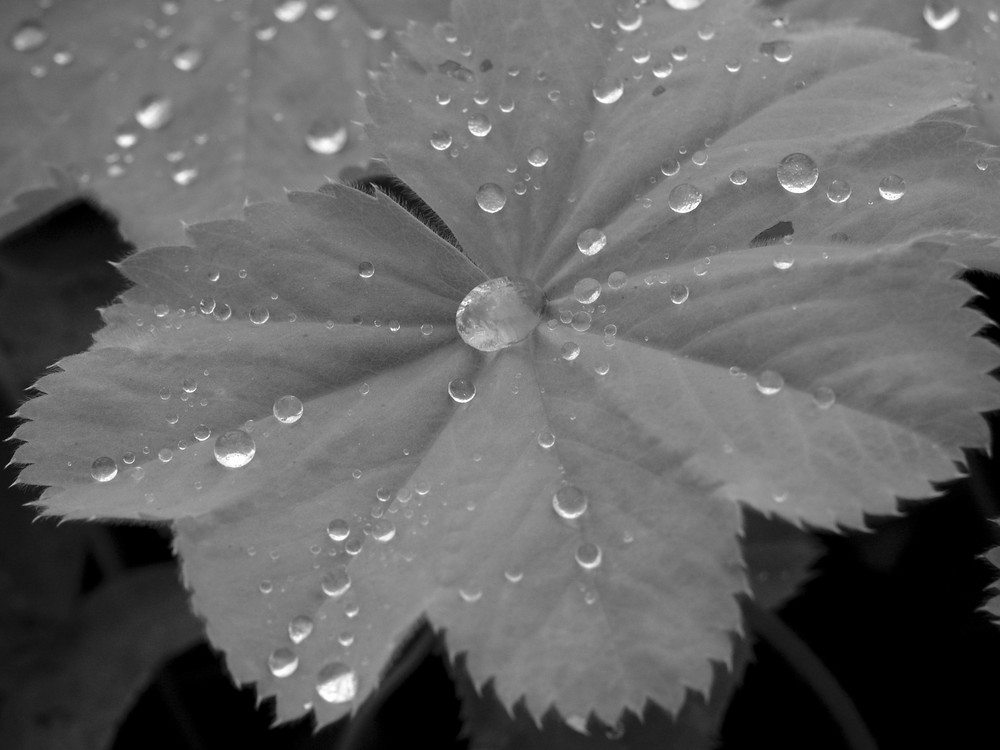 Frauenmantel im Regen