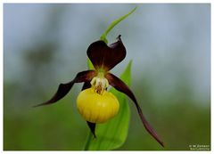 - Frauenschuh 2 - ( Cypripedium calceolus )