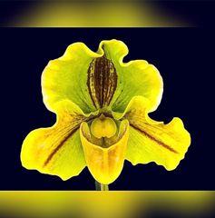 Frauenschuh gelb-grün