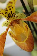 - Frauenschuh-Orchidee -