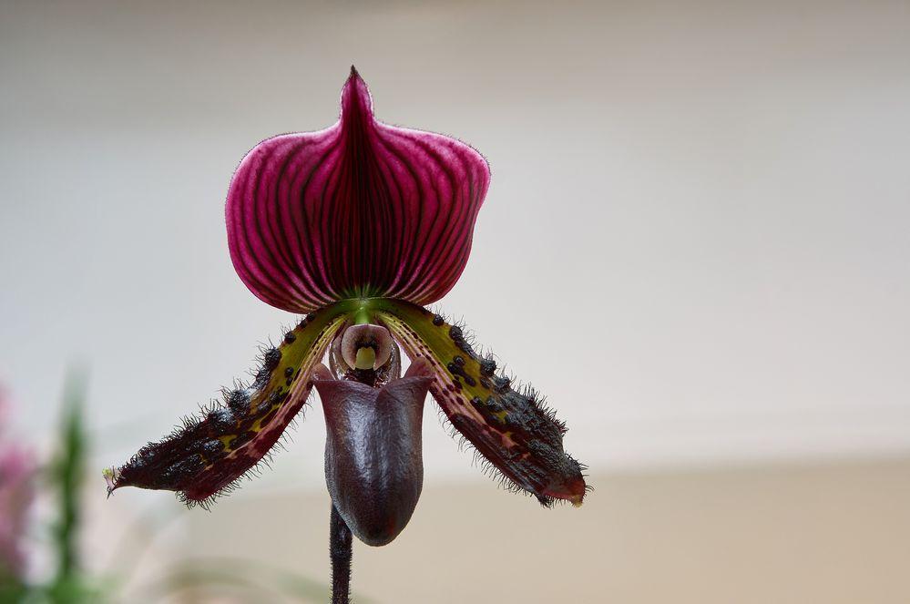 Frauenschuh Orchidee
