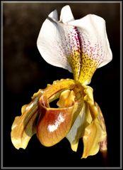 Frauenschuh- Orchidee