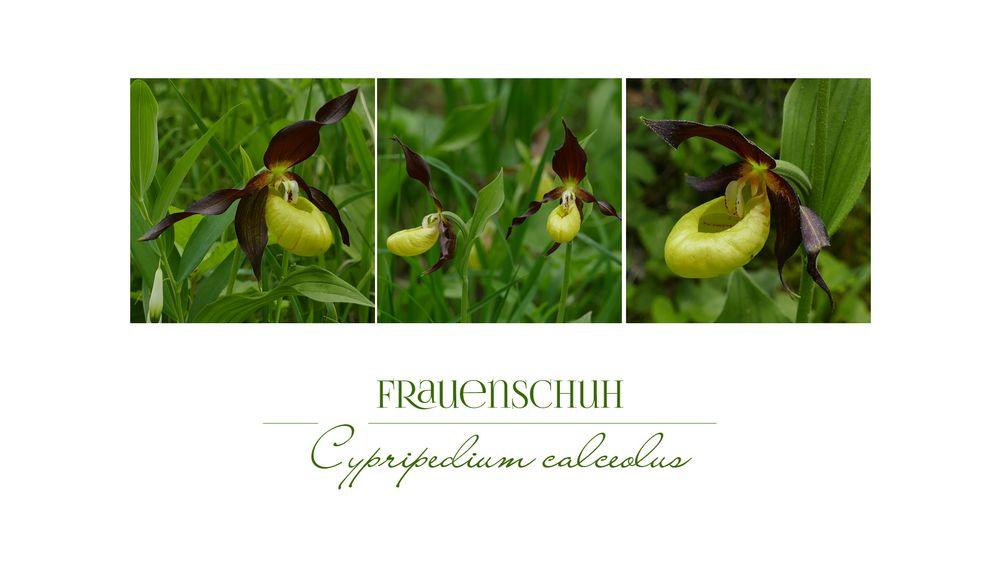 FRAUENSCHUH-ORCHIDEEN
