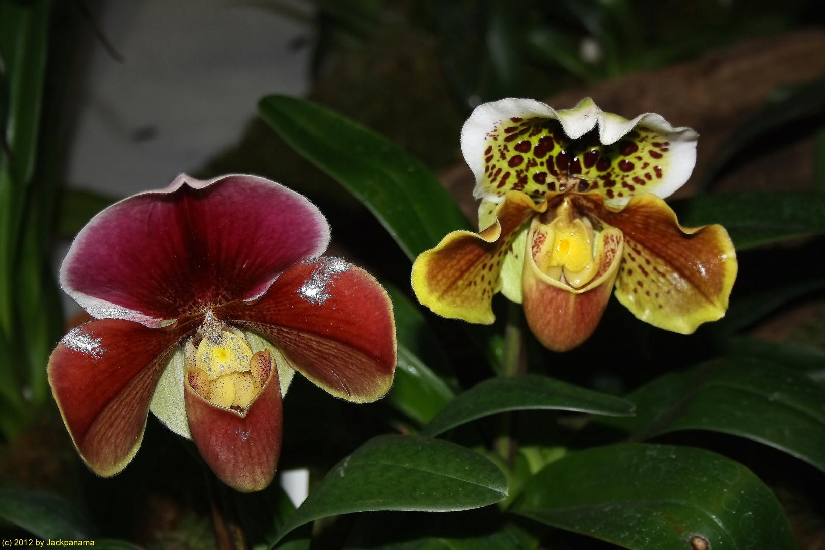 Frauenschuh Orchideen Auf Der Messe Haus Garten Genuss In Essen