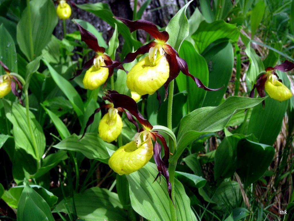 Frauenschuhorchideen im oberen Lechtal