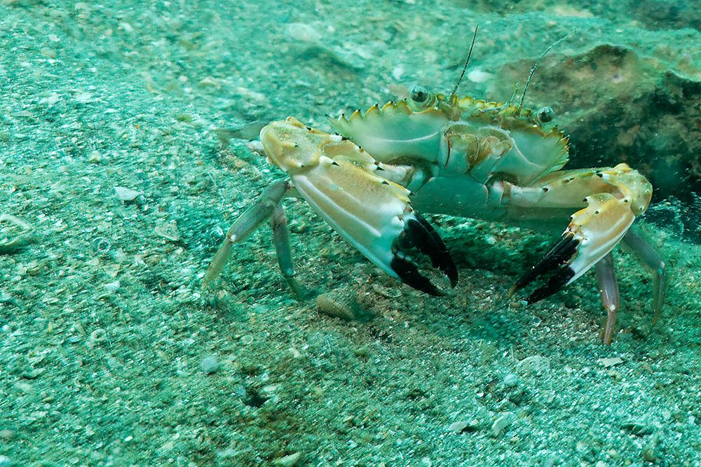 freche Krabbe