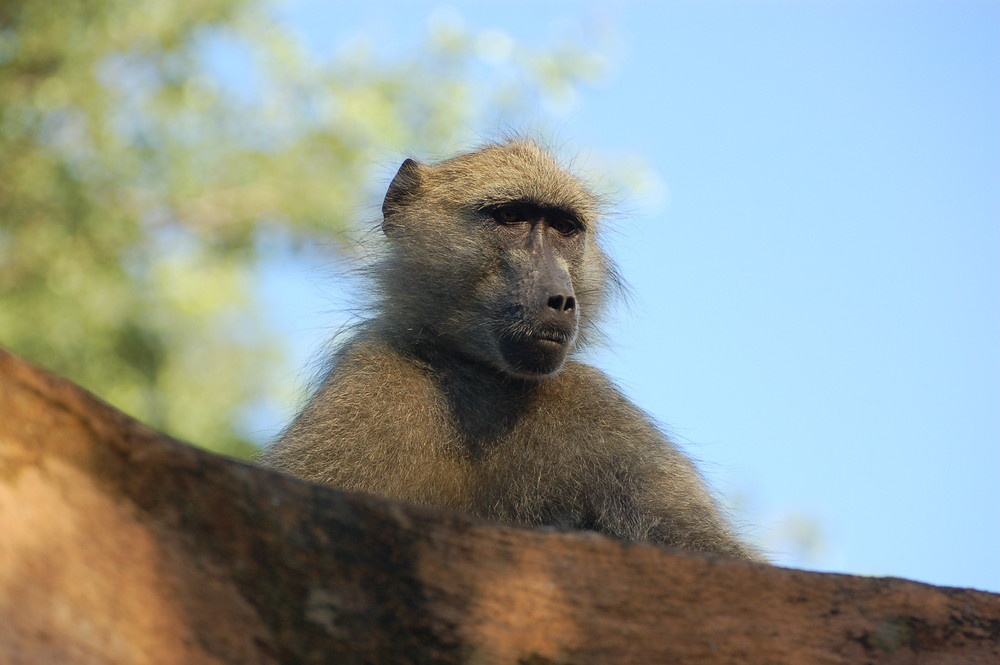 Frecher Affe auf dem Dach
