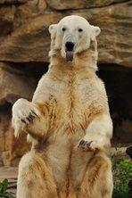 Frecher Knut