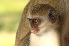 freches Affenkind