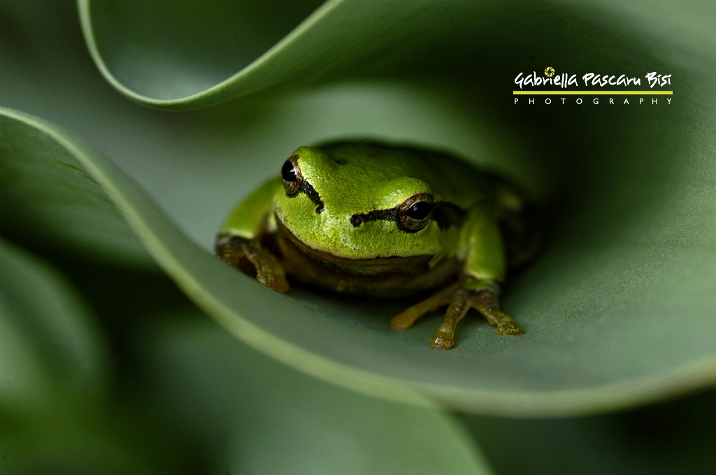 Fredy the frog