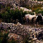 frei laufende Pferde auf den Hängen der Insel Brac