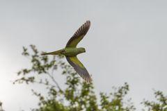 Frei lebende Papageien in London