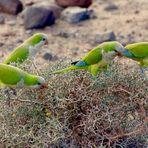 freifliegende grüne Mönchssittiche in Jandia
