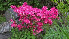 Freilandazalee, die wir seit über 30 Jahren im Garten stehen haben...