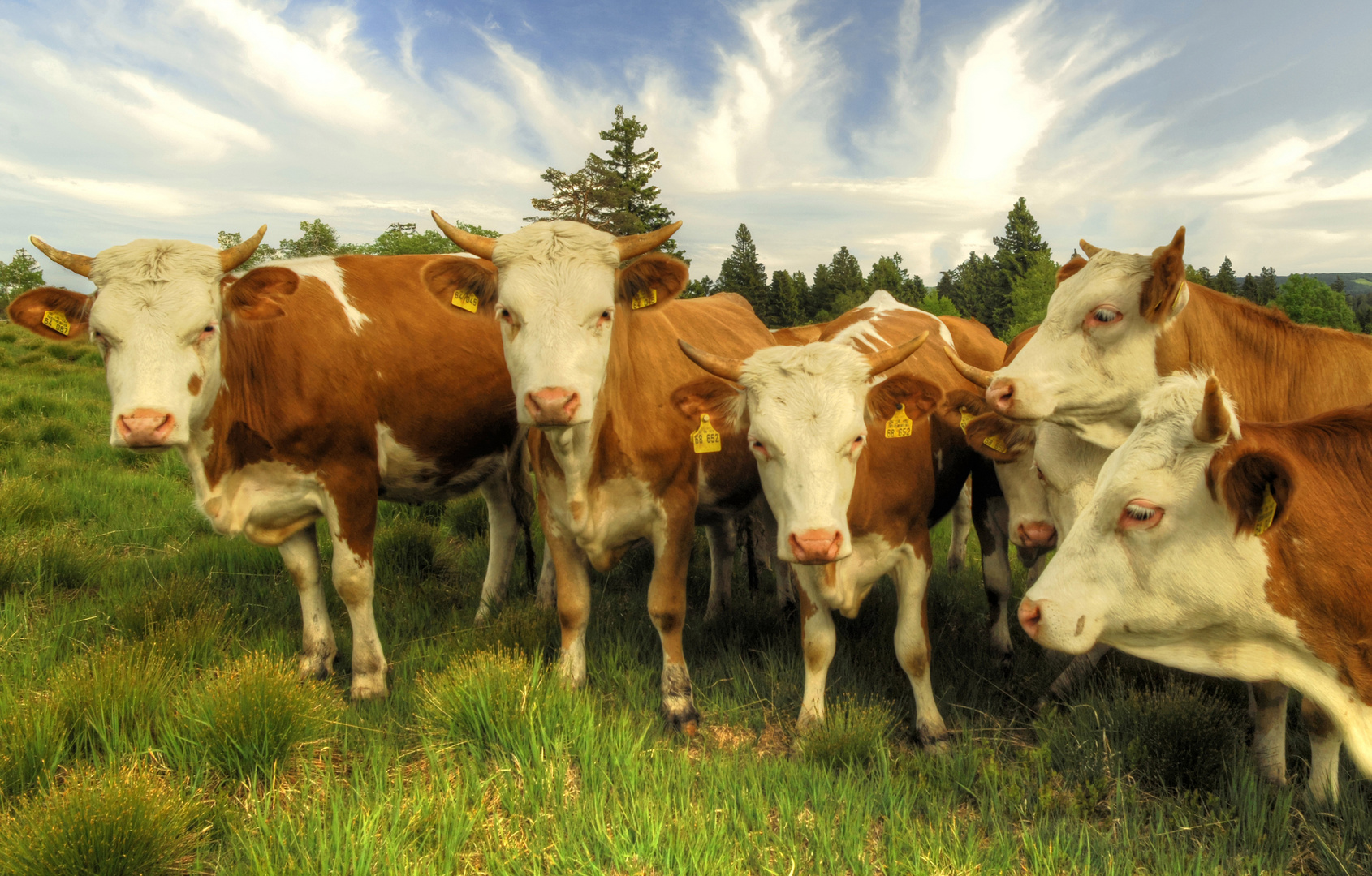 freilaufende Rinderherde auf dem Schliffkopf