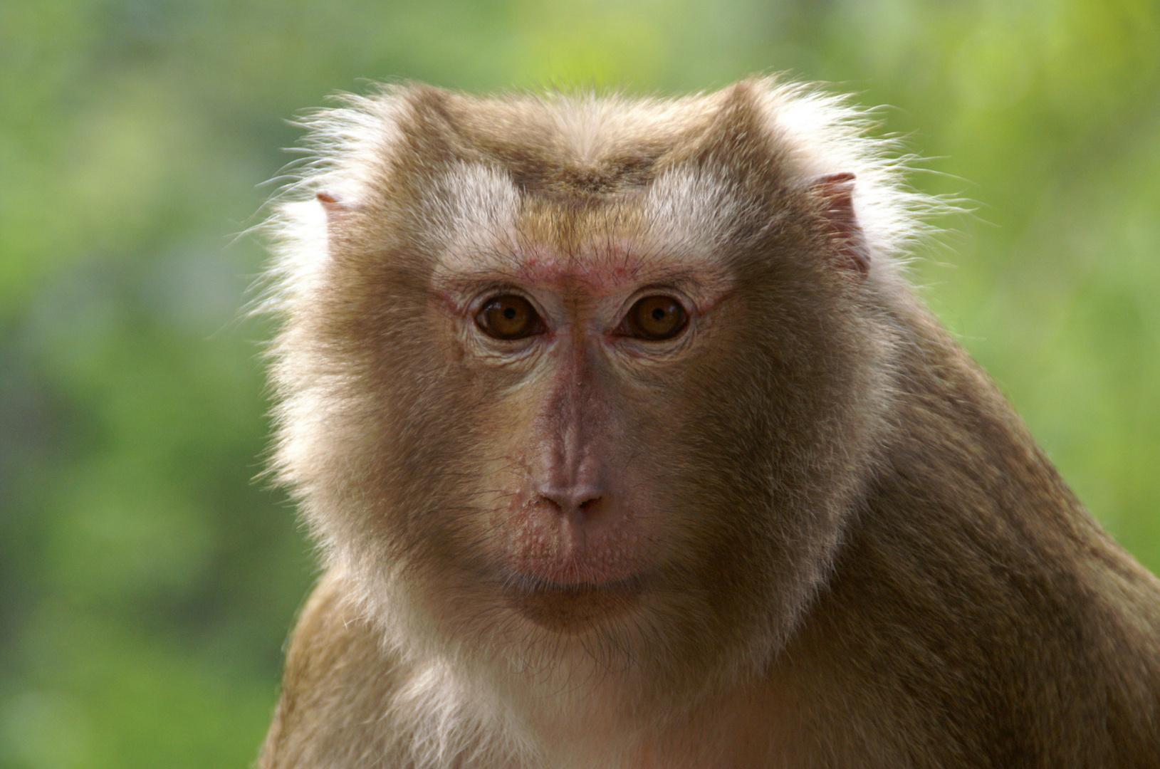 Affen In Thailand