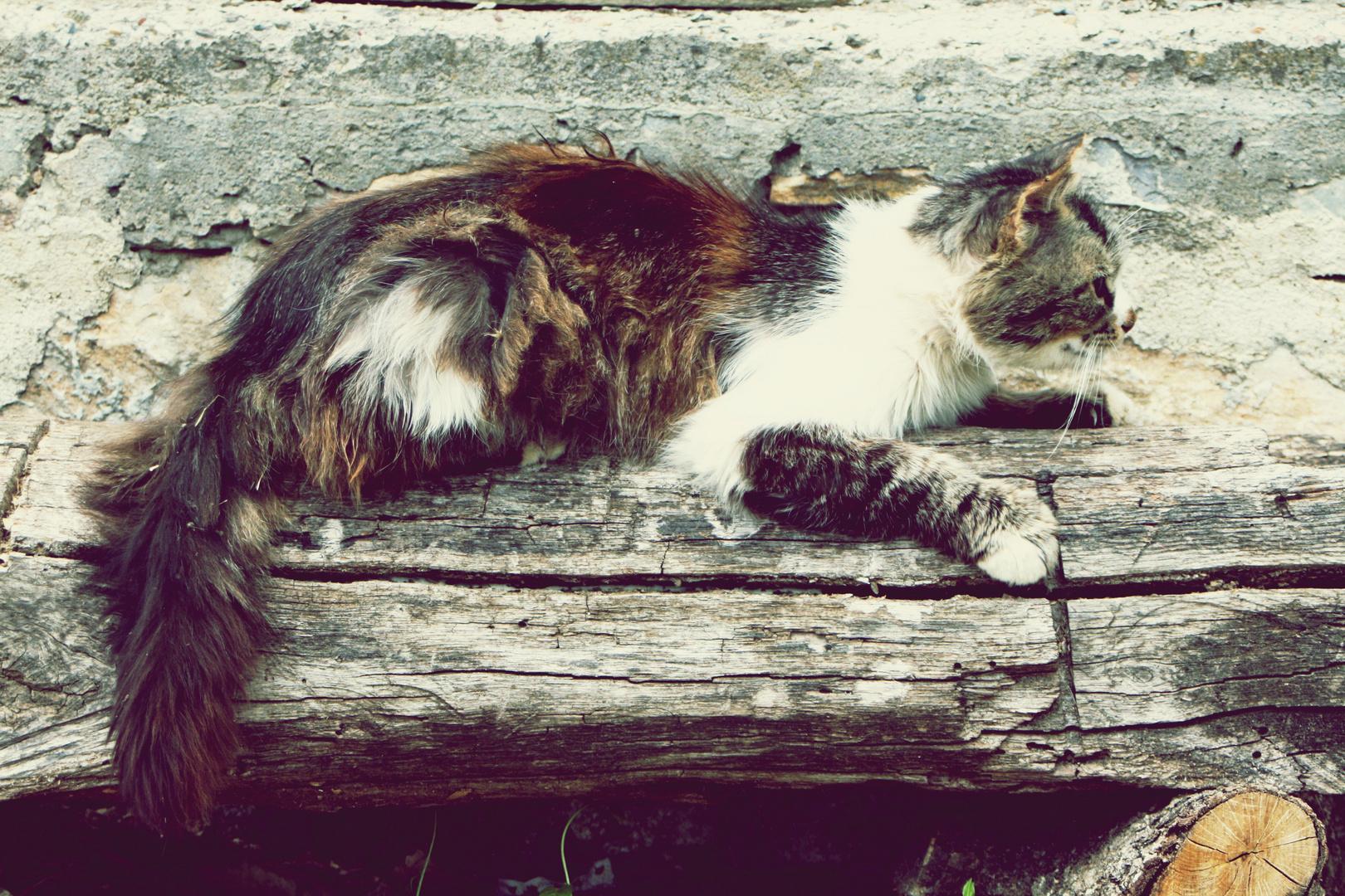 Freilebende Katze in Bulgarien