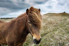 Freilebende Pony's zwischen Lönstrup und Skallerup