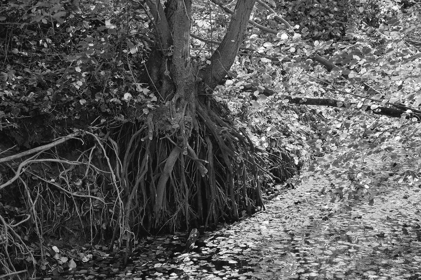 Freiliegende Baumwurzeln an einem Entwässerungsgraben im Wald