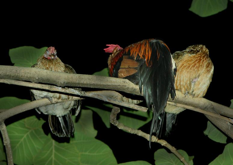 Freischlafende Hühner aus Baumhaltung