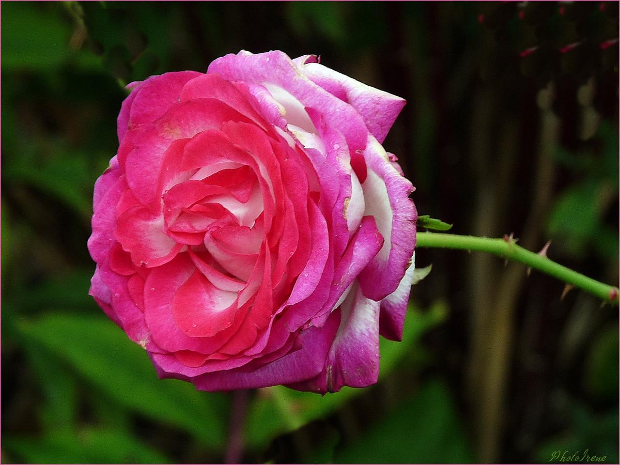 Freitags-Rose ...