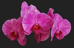 Freitagsorchidee