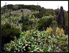 Fremdartige Vegetation im Vulkankrater, Uganda