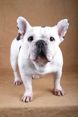French Bulldog Emma