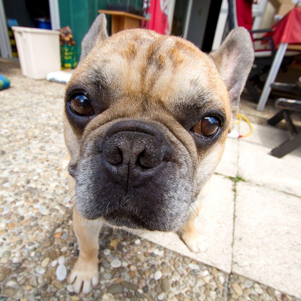 French Bulldog Hugo I