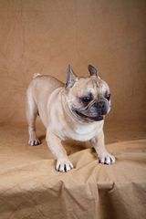 French Bulldog Hugo II