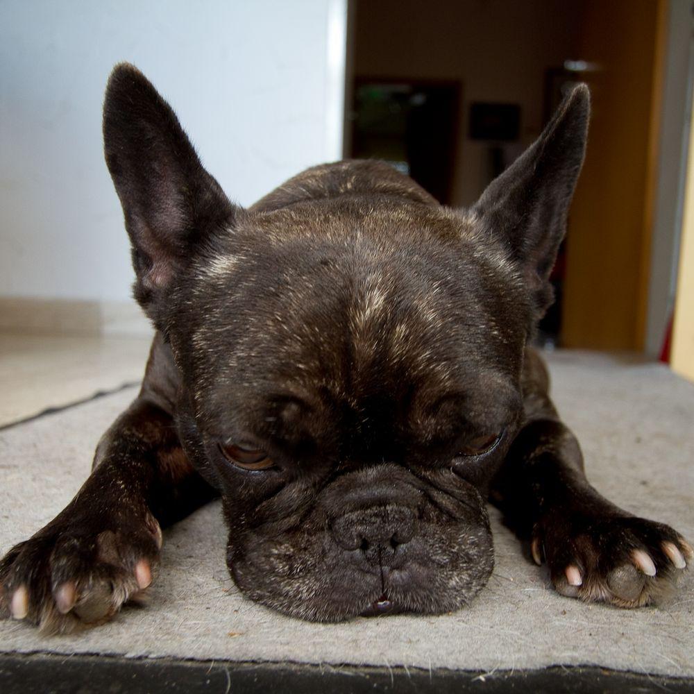 French Bulldog Wilma