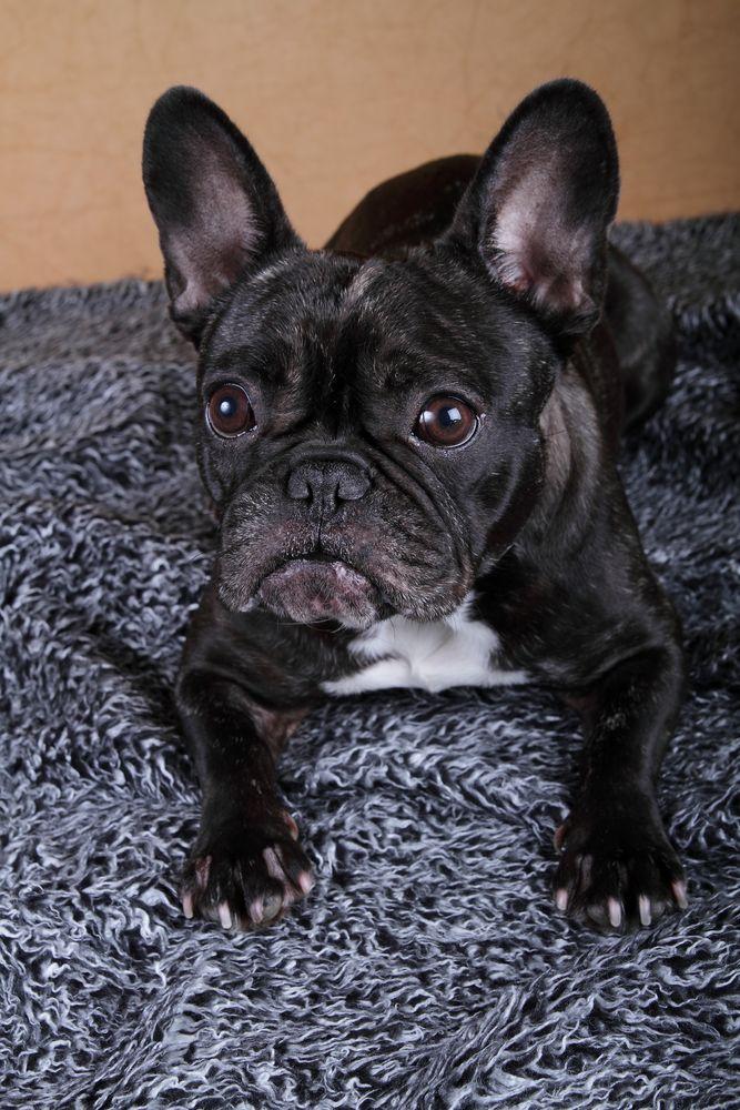 French Bulldog Wilma I
