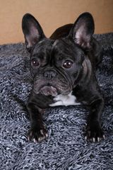 French Bulldog Wilma I