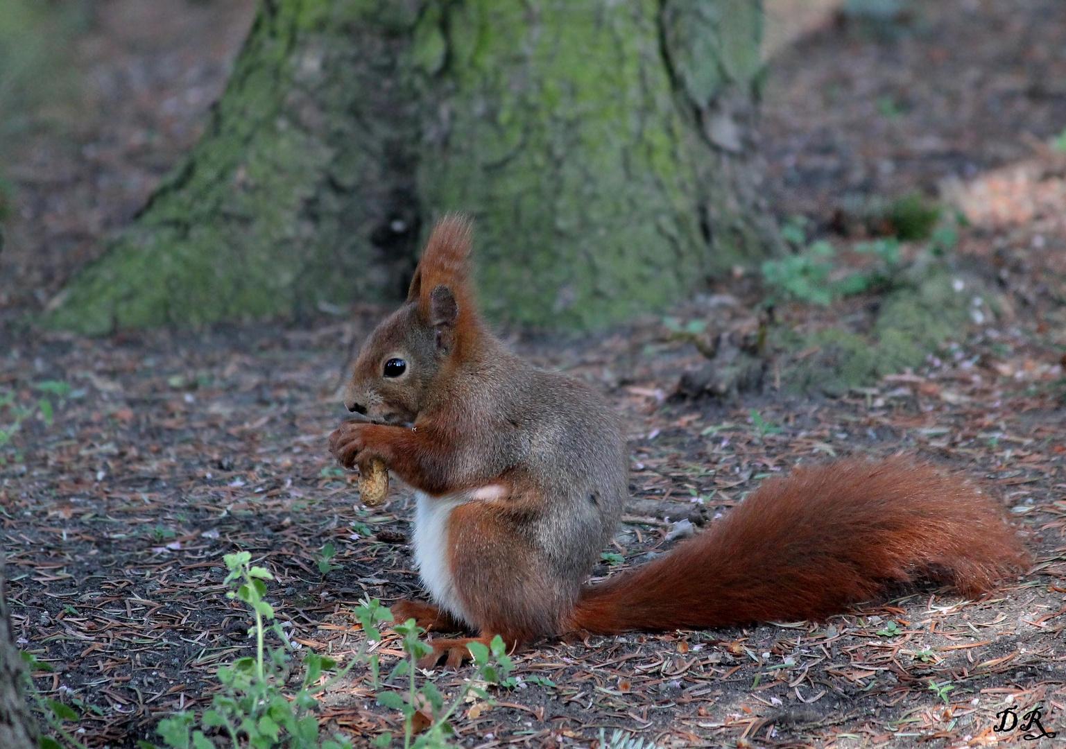 fressendes eichhörnchen foto  bild  natur tiere bilder