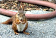 ... fressendes Starhörnchen mit Schlauch ...
