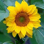 """""""Freu mich schon wieder auf die heurigen Sonnenblumen""""!!!!!"""
