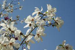 Freude an Magnolien