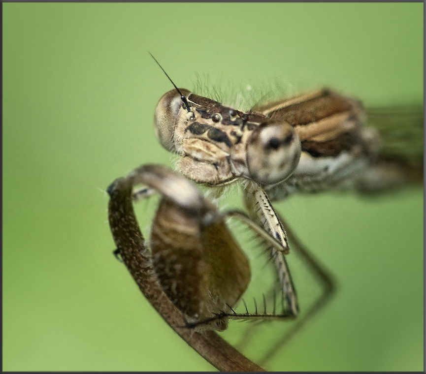 Freundliche Libelle