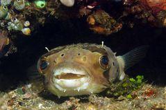 freundlicher Igelfisch